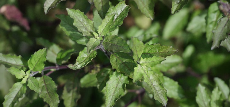 Purple Tulsi Plant