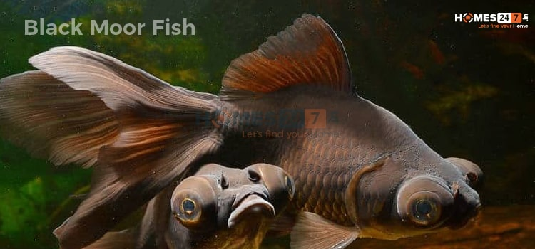 Black Moor Vastu Fish For Homes