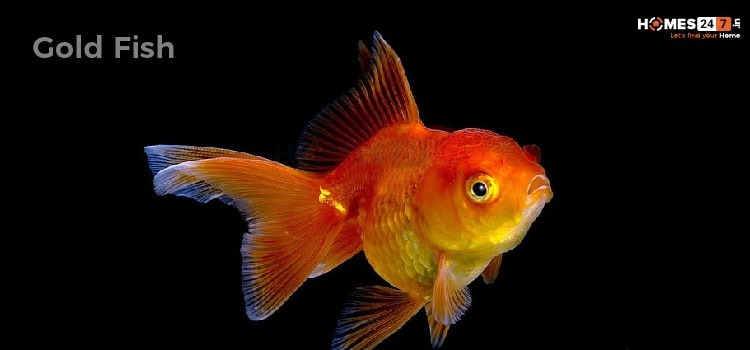 Gold FIsh Vastu Fish for Home