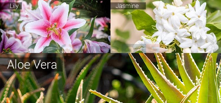 vastu-plants-04